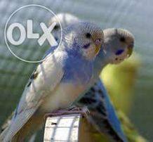 papugi faliste śliczne