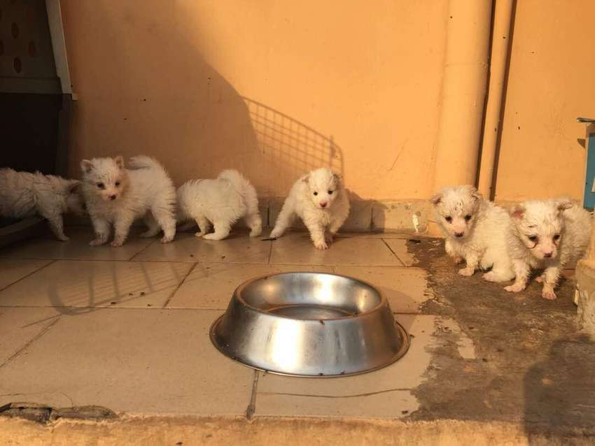 Samoyed pups 0