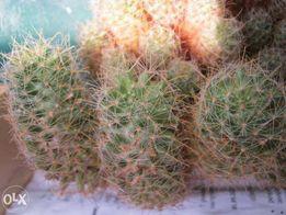 Продам Маммилярия Вильда (Mammillaria wildii)