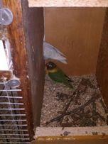 Папуги нерозлучники