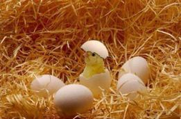 Фокси Чик (Foxy Chick). Бройлер Венгр Кобб круглогодично оптом.