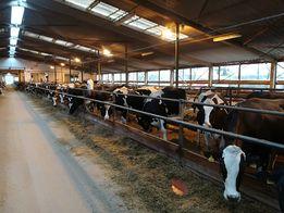 Krowy pierwiastki importowane z Czech