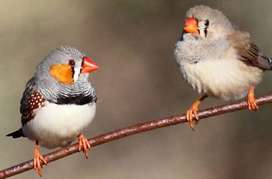 Red chested finches