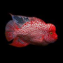 Хорн Флавер 6 Видов Аквариумные Рыбки