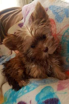 T cup yorkshire Terrier