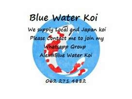 Blue water koi