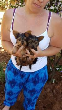 Image of yorkshire terrier pocket puppies