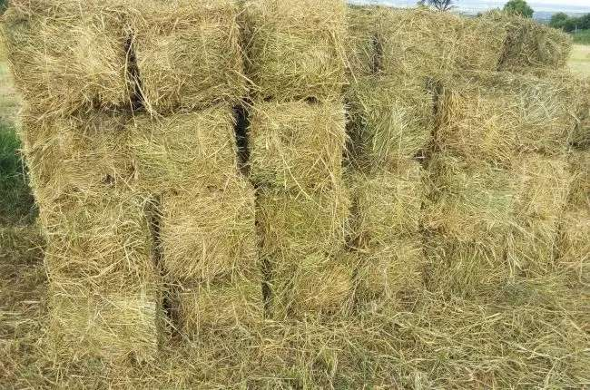 Boma Rhodes grass seeds for sale 0
