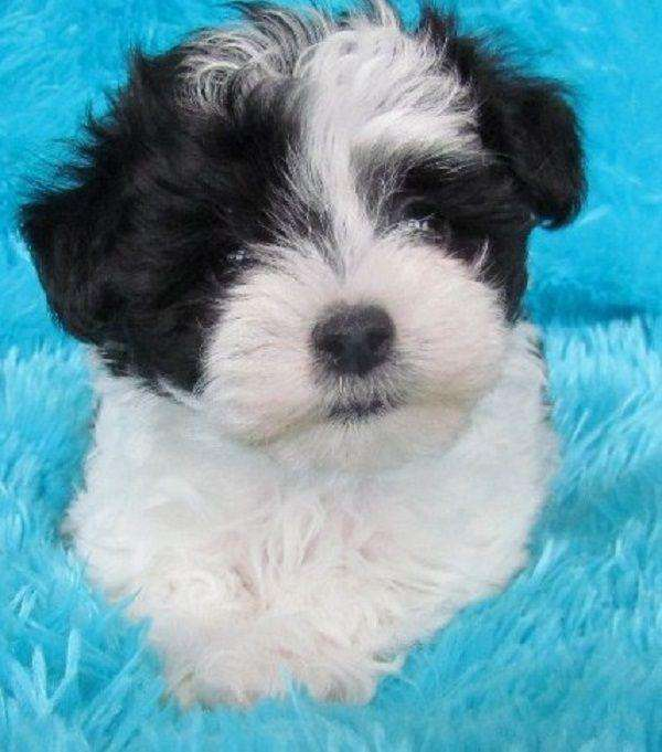 Black and white male maltese 0