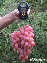 Реализую саженцы винограда комплексно-устойчивых сортов и ГФ.