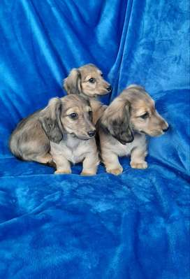 Miniature longhaired dachshunds/ worshonde for sale foe