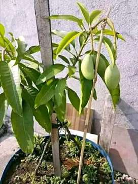 Sweet catimon mango seedling for sale