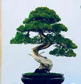 Bonsai tree seeds