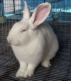 Rabbits for sale for breeding