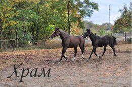 Розпродаж конюшні. Продам породистих коней, карету, кінну амуніцію