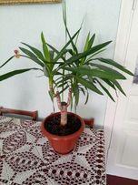 юкка комнатое растение