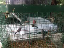 Veraity finches and Doves,