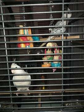 Two young cockatiels and cage