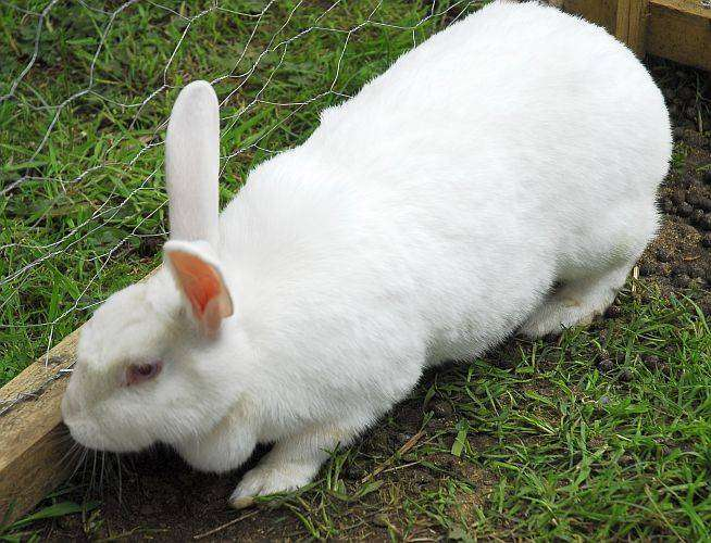 Rabbit breeding stock 0