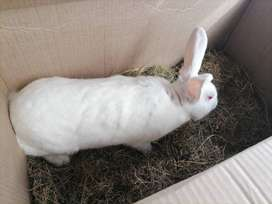 RABBITS FOR SALE NEWZEALD WHITE MALE AND FEMALE