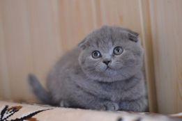 Баффи - голубая вислоухая шотландочка