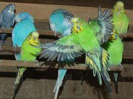 Волнистые попугаи ярких окрасов!