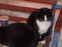 Отдам чёрно белого кота, возраст 1,5 года
