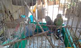 cute handreared budgies for sale