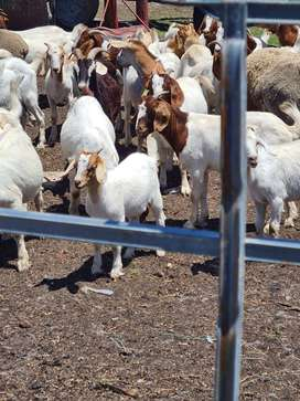 ready boer goat for breeding and slaughtering