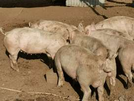 Looking for pigs to buy between 22 and 28kg