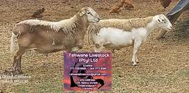 Sheep Rams available for sale at Tshwane Livestock