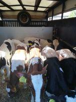 Byczki mięsne mieszańce