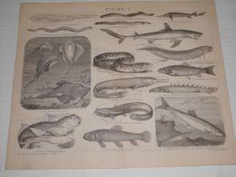 RYBY, AKWARIUM, STRUSIE, Antylopy oryginalne XIX w. grafiki