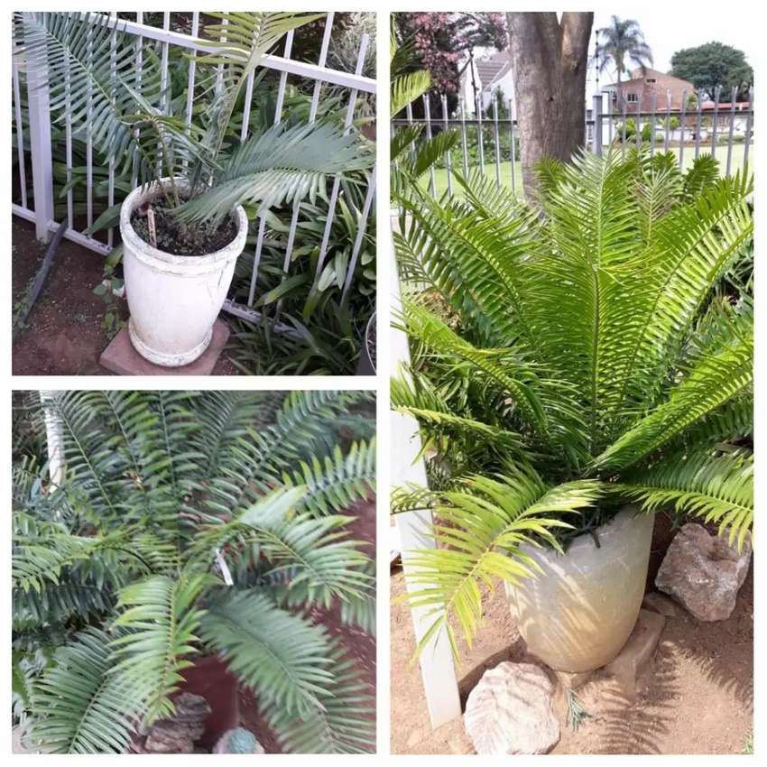 Cycads for sale 0
