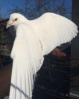 Белые голуби на свадьбу,выпускной бал, праздники!