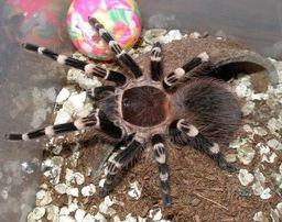 Продам паука-птицееда Акантоскурия геникулята