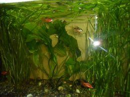 Валлиснерия-живое растение для вашего аквариума.