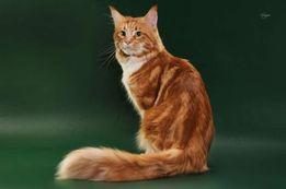 Кот породы Мейн-кун ждёт кошечек на вязку
