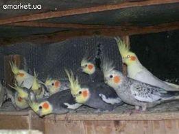 Продам попугаев домашние Корелла-все цвета