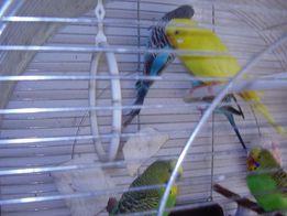 Papugi faliste młode sprzedam.