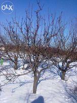 Обрезка сада,виноградника, плодовых и декоративных кустариников.