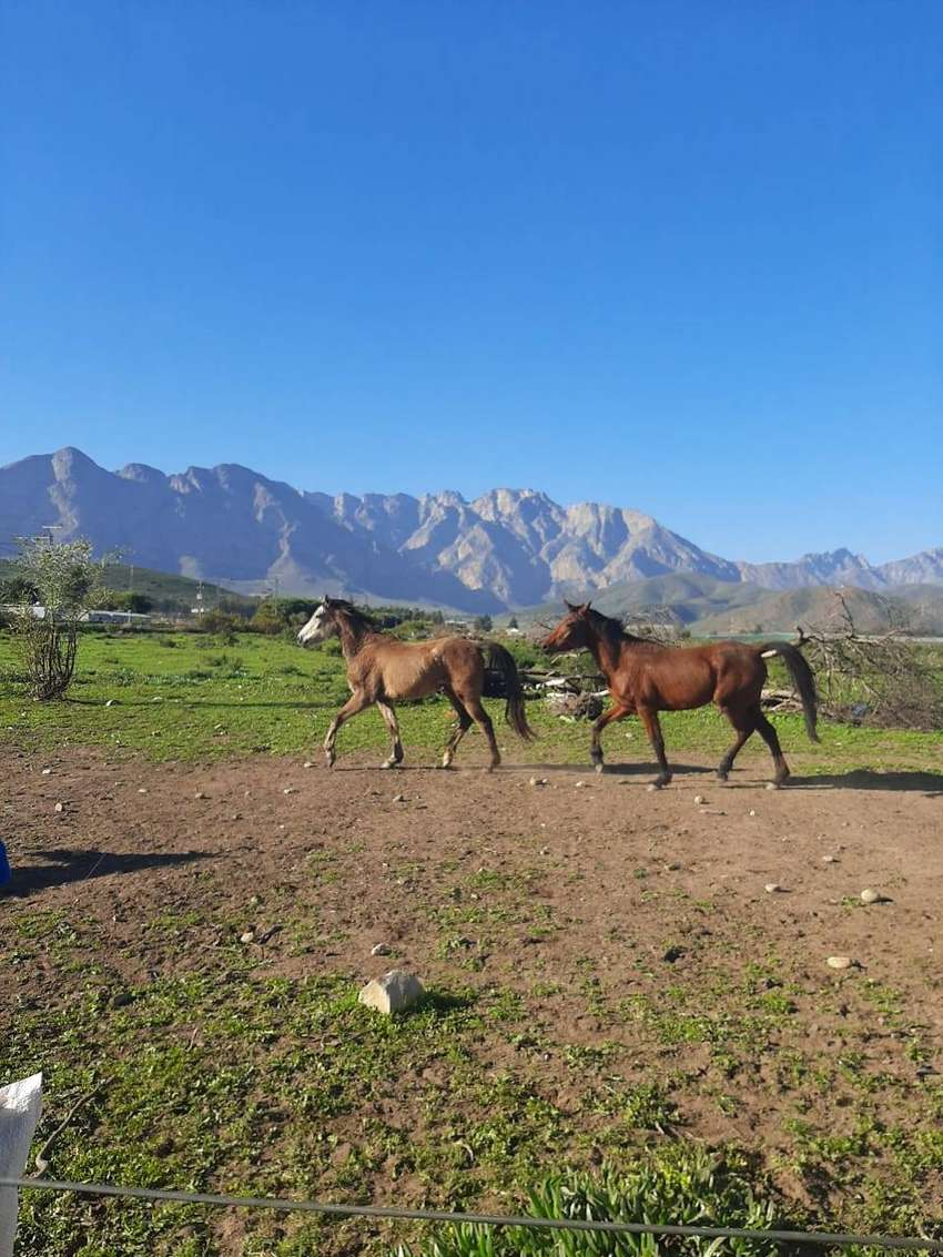ARAB HORSES FOR SALE