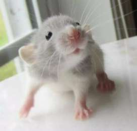 Rats for sale hamsters