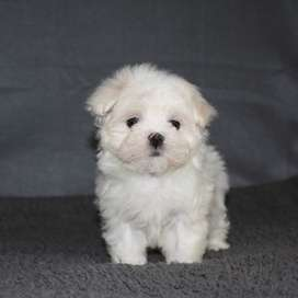 Looking for Maltese pup