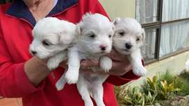 Maltese poodle puppies.