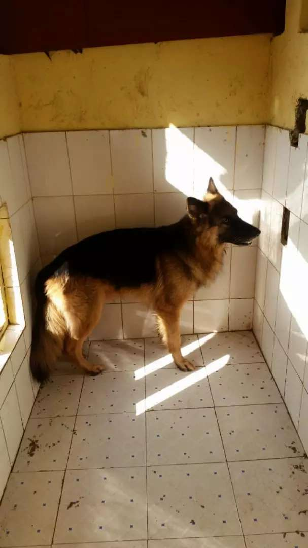 Dogs for sale in nyali 0