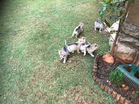 Husky cross Alsatian puppies available now R2000
