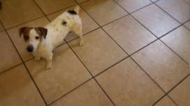 Jack Russel - small dogs for sale