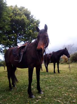 3 family horses saddles  and tack for sale