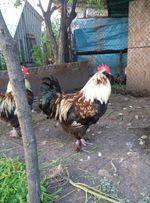 Фавероли, куры, петухи, цыплята, инкубационные яйца.